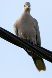 A close up portrait of a simple pigeon sitting on a black electrical high voltage wire. The bird is looking around with a clear blue sky behind it during a sunny day.