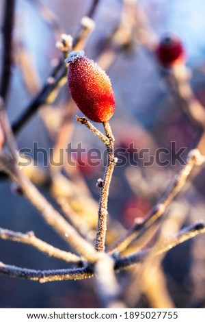 A close up portrait of a single frozen rose hip, haw or hep standing upright on a branch of the bush it grew on in golden hour sunlight. In the blurred background their are others of its kind. Stock photo ©