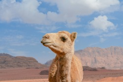 A close up portrait of a smiling camel in Wadi Rum desert in Jordan.