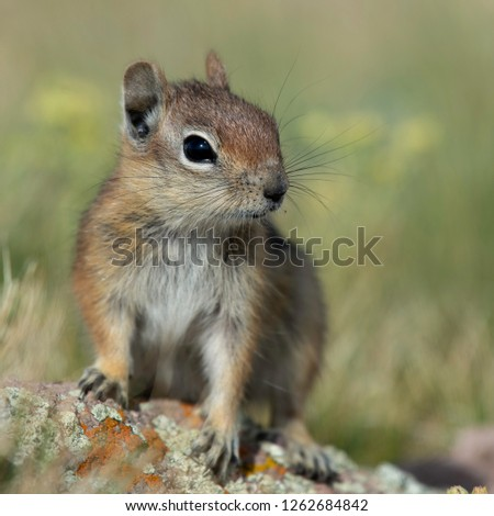 A close-up portrait of a young golden-mantled ground squirrel. Brianhead, Utah.