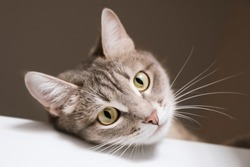 A close-up portrait of an adult shorthair gray cat with a white mustache and yellow eyes. The cat lies on a white table and watches the house. Image for veterinary clinic, animal feed, cat blog
