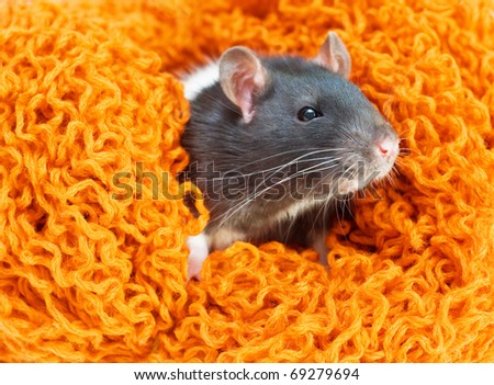 A close-up portrait of pet rat sitting in a nest made of orange yarn