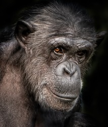 A close-up portrait photo of a  female chimpanzee,