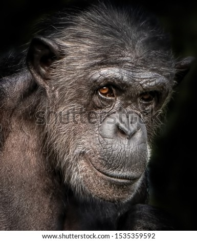 A close-up portrait photo of a  female chimpanzee,  Сток-фото ©