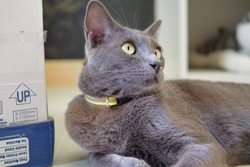 A close-up portrait shot of Thai domestic Korat breed cat lying on the floor next to a paper cardboard box. Gray feline pet with collar. Fur friend.