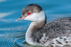 A close up profile image of a Horned Grebe in Winter Plumage, with beak and eye details nicely illuminated by the sun in a pretty blue water lake.