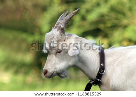 A close-up profile portrait of a white male goat with slightly curved horns and a short beard, looking down, on a green background, in soft focus in the background.