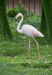A close-up scene of pink walking flamingo against blurred green of lush grass and bushes. Selective focus. Ornithology, parks, beauty in nature, wildlife, vacation, travel.