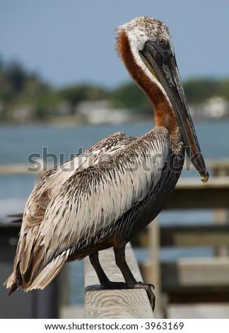 A close-up shot of a Brown Pelican, Madeira Beach Florida.