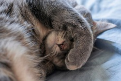 A Close Up Shot of a Cute Gray, Tan, and White House Cat Covering Her Face with Her Paw While Napping