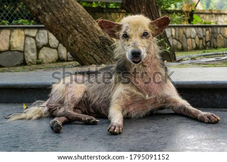 A close up shot of a dog with Pruritus. A dog with pruritus will excessively scratch, bite, or lick its skin with loosing fur. Stock photo ©