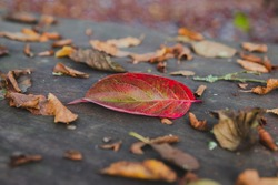 A close up shot of a fallen red leaf on a wooden table in a park in autumn surrounded with sere brown leaves