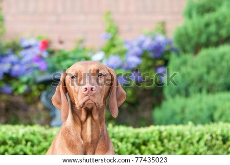 A close-up shot of a female Vizsla dog standing in a garden by a brick wall.