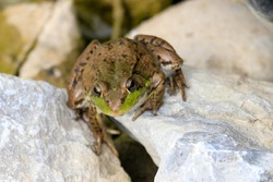 A close-up shot of a leopard frog in the grass.