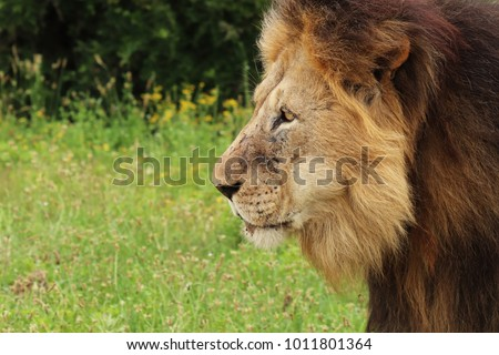 A close up shot  of a lion (Panthera leo) in a National Park near Port Elizabeth, South Africa.
