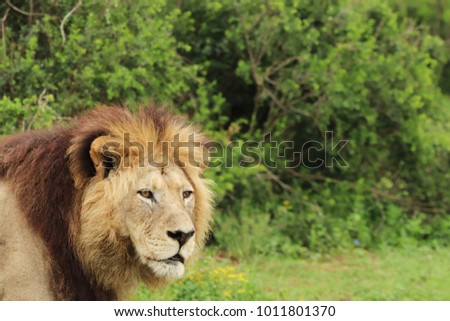 A close up shot  of a lion (Panthera leo) in the Addo Elephant National Park near Port Elizabeth, South Africa.