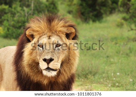 A close up shot  of a lion (Panthera leo) in the wild.