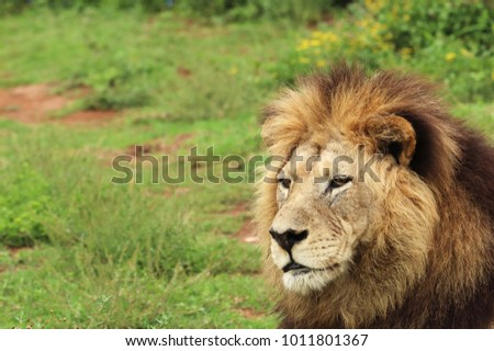 A close up shot  of a lion (Panthera leo) in the wild near Port Elizabeth, South Africa.