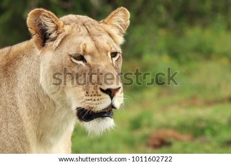 A close up shot of a lioness (Panthera Leo).