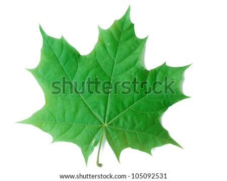 A close up shot of a maple leaf