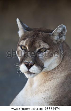 A close-up shot of a Mountain Lion (Puma concolor).