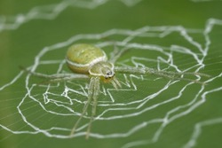 A close up shot of a orb weaver spider on a green leave background.