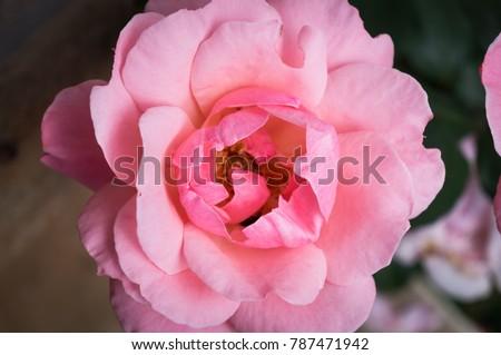 Shutterstock A close up shot of a Rosa x damascena (A.K.A. Damask Rose, Rose of Castile, Rosa cha) near Santuario do Caraca Complex.