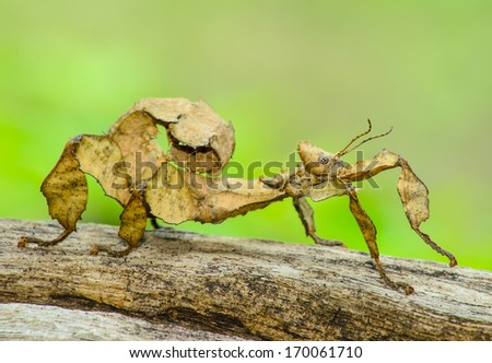 A close-up shot of a Spiny leaf insect #170061710