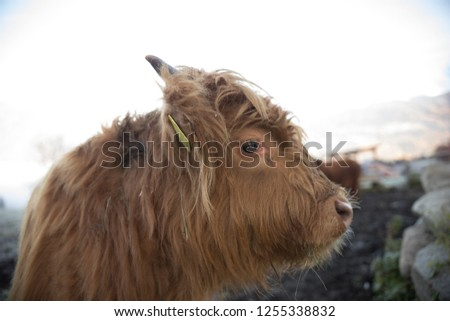 A close up shot of adorable alpine little brown calf. Side angle #1255338832