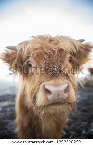 A close up shot of adorable alpine little calf #1252320259