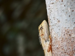 A close-up shot of Agamid lizards crawling on the tree