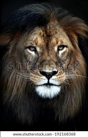 Stock Photo A close up shot of an African Lion
