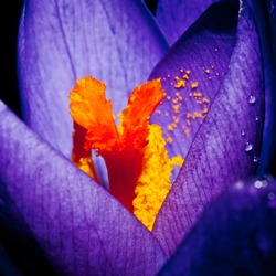 A close-up shot of an early flowering crocus.