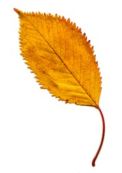 A close-up shot of an Elm leaf portraying beautiful golden Autumn Colours.