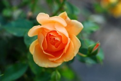 A close up shot of an orange rose with green leaves