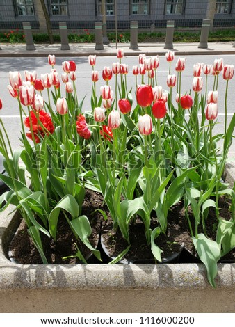 A close up shot of brightly colored fiery red and white tulips in a concrete planter. The planter sits on a city street, visible in the background. The flowers leaves are bright green . #1416000200