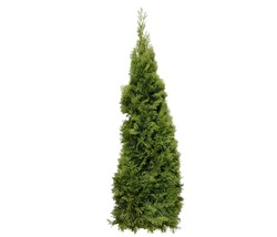 A close up shot of fir tree , plant, bushes and leaves isolated on white background.