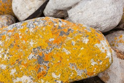 A close-up texture of yellow and orange lichen growing on coastal rocks and boulders on the beach