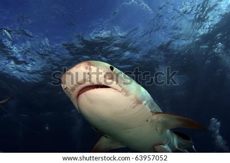 A close up up of a tiger shark