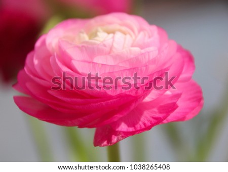 a close up view of a beautiful pink Ranunculus aka buttercup flower, exquisite, with a rose-like blossoms, layer upon layer of silky petals. soft colors background, Isolated\n