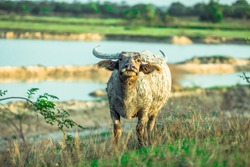 A close up view of a buffalo Who are eating grass on the rice fields, muddy body, have fast motion blur while walking, this type of animal is often seen in rural areas