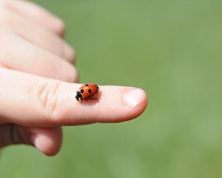 A close-up view of a child's hands hold a bright red ladybug