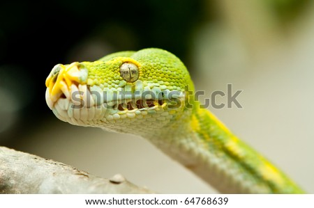 A close-up view of a Green tree python.
