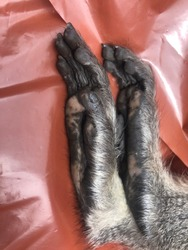 A close up view of a injured monkeys feet lying on a red plastic cover