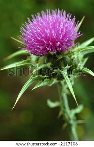 a close up view of a marianum thistle