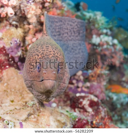 A close-up view of a moray under water