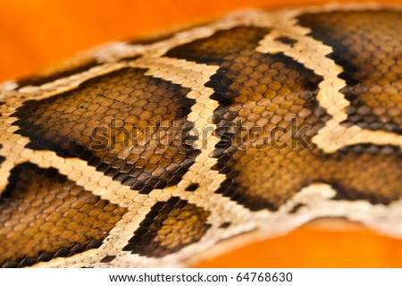 A close-up view of a pattern of a Burmese python scale.