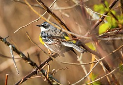 A close up view of a yellow rumped warbler perched in a tree in Tawas Point State Park, East Tawas, Michigan.