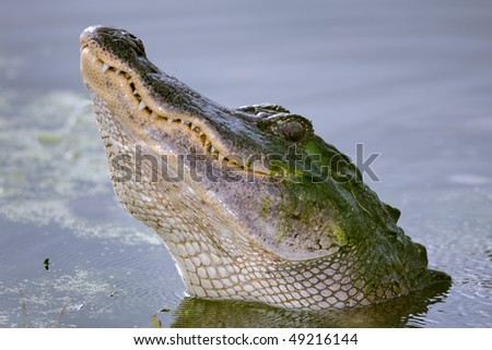 A close-up view of an American Alligator (Alligator mississippiensis) during a courtship growl.  Shot at Brazos Bend State Park, Needville, Texas.  Needville is located southwest of Houston.