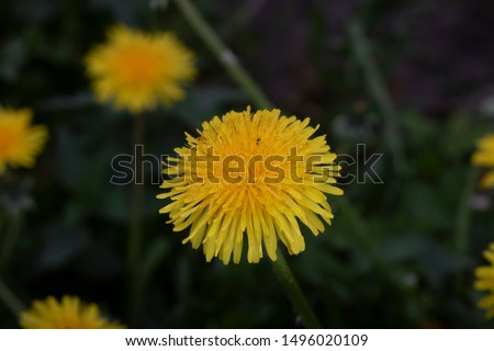 A Close up view of dandelion flowers